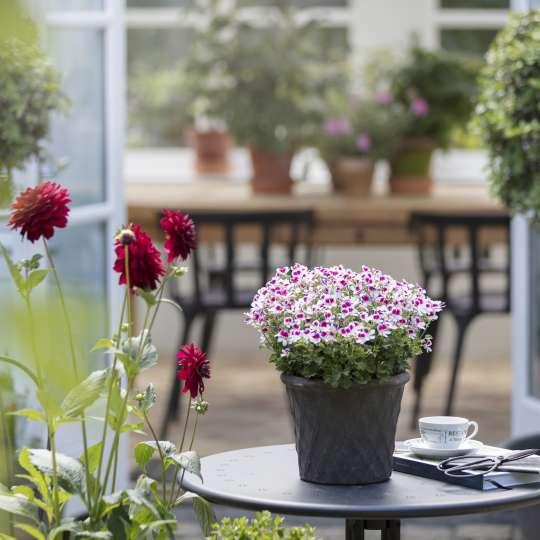 Geraniums Indoor Winter Garden
