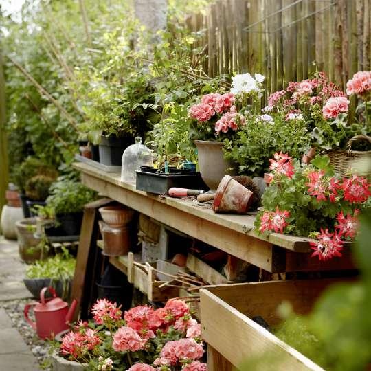Um optimal zu gedeihen, benötigen sie ausreichend Platz und eine gute Blumenerde.