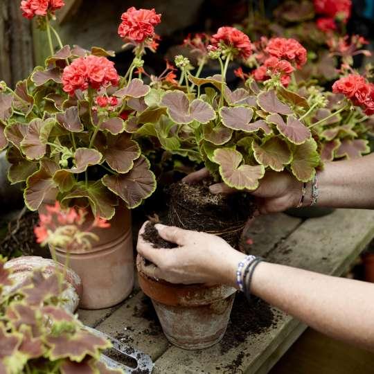 Sobald die Gefahr von Nachtfrösten endgültig gebannt ist, können Geranien nach draußen gepflanzt werden.