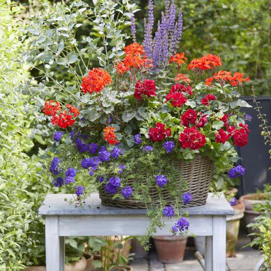 In einem ausreichend großen Pflanzgefäß lassen sich Geranien wunderbar mit anderen Blüh- und Grünpflanzen kombinieren