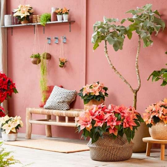Bild 1 - Poinsettia Green Living