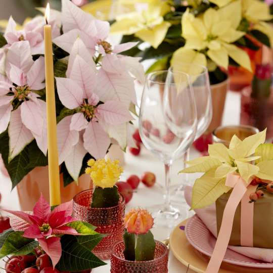 Bild 6 - Poinsettia Candy Colour Christmas