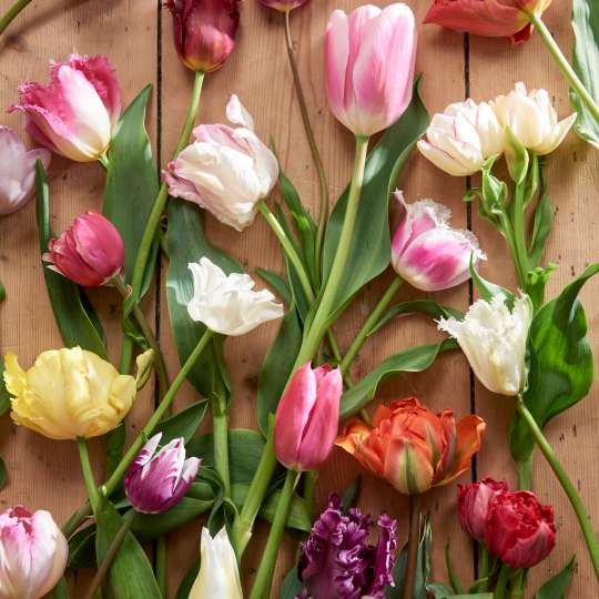 Die Vielfalt der Tulpe