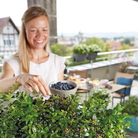 Zum Vernaschen: Die Blaubeerhecke ist eine genussvolle Bereicherung für jeden Balkon.