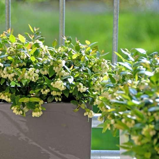 Auch auf wenig Raum lässt sich eine ertragreiche Fruchthecke kultivieren.