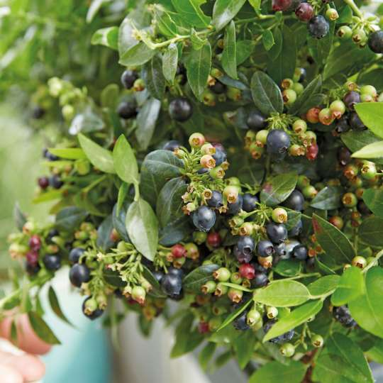 Für kleine Blaubeerpflanzen ist fast überall Platz