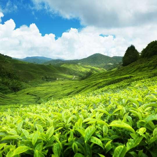 Sri Lanka Teeplantage