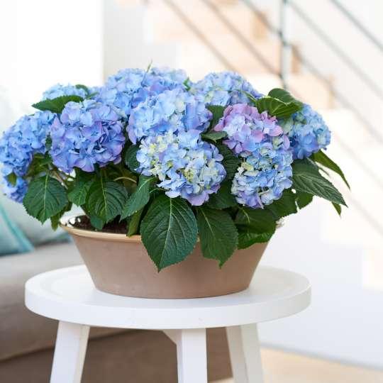 Blaublühende Hortensie